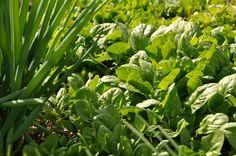 Zelenina V. - Povrch záhonů