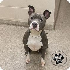 Pictures of Zena a Pit Bull Terrier for adoption in Troy, OH who needs a loving home. #pitbull