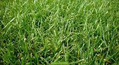 raygrass cultivo