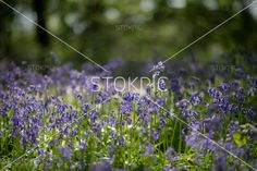 Purple Bluebells In British Countryside