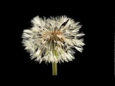 Dandelion flower and clock blowing away time lapse.Emocionante!!!