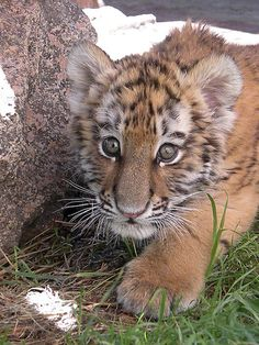 Tiger cub - Frozen...*You can't see me!* | by starbucksgirl26