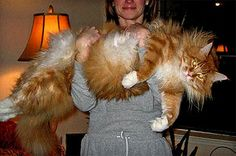 a thing to do sometime: to get a ginger maine coon cat in size of smaller lion.. how cool