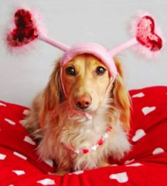 Longhaired Dachshund Doxie Long Haired Valentines Day Puppy Dog Dogs Puppies