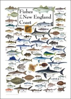 This stunning poster includes 103 fish species, both common and exotic, found inshore, nearshore, and offshore along the New England coast from Long Island Sound up to the Canadian Maritimes. Koi Fish Pond, Fish Ponds, Gone Fishing, Best Fishing, Fishing Rods, New Hampshire, Fish Chart, Fish Information, Water Poster