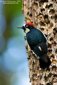 Acorn Woodpecker (MALE) ON GRANARY TREE