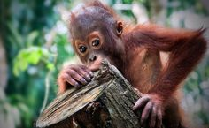 Stop Big Palm Oil From Destroying the Last Existing Home for Orangutans, Elephants & Tigers! Feb/16 http://www.onegreenplanet.org/environment/how-plastic-impacts-marine-animals-lets-crushplastic/?utm_source=Green+Monster+Mailing+List&utm_campaign=6a47d3c456-NEWSLETTER_EMAIL_CAMPAIGN&utm_medium=email&utm_term=0_bbf62ddf34-6a47d3c456-106143893