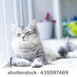 Beautiful female of siberian cat, silver version - stock photo - new #image on @shutterstock #cat #kitten #pet #animal #cute #gatos #little #feline #puppy #siberian #meow #cuddling #adorablecats #beautifulcats