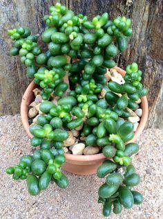 Succulent Gardening, Succulent Pots, Planting Succulents, Planting Flowers, Colorful Succulents, Growing Succulents, Succulents In Containers, Unusual Plants, Rare Plants