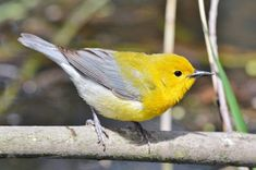 Prothonotary warbler, Point Pelee National Park. This species is at risk and only reliably found in very low numbers in a few locations in Ontario.