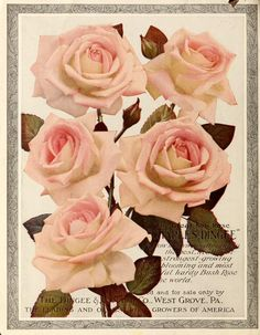 Dingee guide to rose culture : for more than 60...
