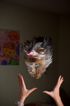 yorkie, flying#Repin By:Pinterest++ for iPad#