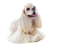 Conheça os diferentes tipos de cachorros Cocker Spaniel