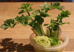 lightly enchanted: Regrowing Celery