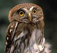 PERNAMBUCO PYGMY-OWLS....live in the lowland Atlantic forest of Pernambuco state of Brazil....measure 4.25 to 5.25 inches long....critically endangered with less than 50 remaining in the wild