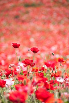 nothing better than a field of poppies