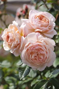 A Shropshire lad rose (David Austin) - Considering this climber for next year