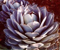 10 Sementes Suculenta Agave Mix Cactos Flor P/ Mudas Planta - R$ 9,90