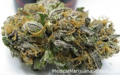 Golden Jamaican Kush Traits: blueberry kush, blueberry taste, California Medical Marijuana, creative thoughts, euphoria, fruity smell, gold color, Good For Body Aches, Good For Insomnia, Good For Muscle Aches, Good For Pain Relief, Good For Relaxing, Good For Stress, Hybrid, increased appetite, Indica, jamaican gold, kush, kush smell, kush taste, munchies, Night Time Use, Spicey Smell, spicy smell, Top Shelf, Very Potent