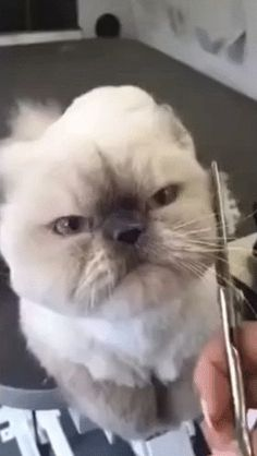 Even cat girls love their haircuts...