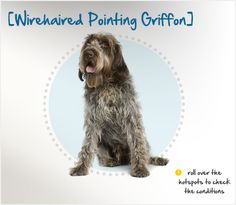 As her name suggests, the Wirehaired Pointing Griffon has a wiry, coarse double coat that enables her to pursue her prey through brambles and brush. Her coat gives her a somewhat unkempt appearance, but regular brushing will keep its natural unruliness under control. As she is a hunting dog, she does require plenty of exercise to stay physically and mentally fit, but she is also known for being calmer than most field breeds when indoors.