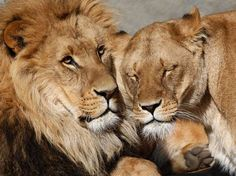 Lions cuddle in their enclosure at the at Hagenbeck Zoo in Hamburg