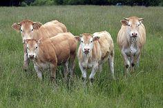 Rinder : Blonde d'Aquitaine