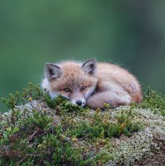 Red Fox Cub by Oona Torgersen