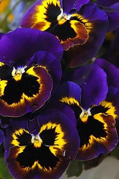 Blue Yellow pansies