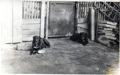 Romanian Raven Shepherd Dog - Ciobanesc Corb #vintage