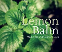 Learn the medicinal and culinary uses of lemon balm, how to grow it, and how to make your own traditional carmelite water.