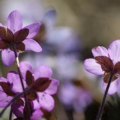 Hepatica, Plant, Flower, Spring