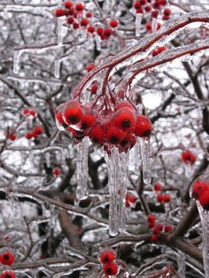 Ripe crabapple covered in ice because of freezing rain. Beautiful, vibrant red colour.