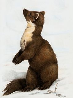 pine marten by Liedeke on DeviantArt Mythical Creatures Art, Wild Creatures, Fantasy Creatures, Funny Drawings, Animal Drawings, Pretty Animals, Cute Animals, Pine Marten, His Dark Materials