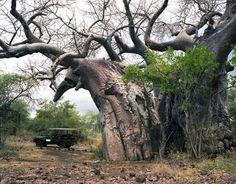 Баобаб в национальном парке ЮАР Крюгер. Возраст - более 2000 лет.