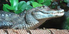 caiman   Descripción Caiman crocodilus Nausicaa.jpg