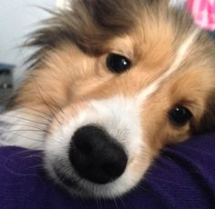 This is my Sheltie, Chloe. Shelties have the perfect schnozzes so I'm hoping this makes it on the site!---Jocelyn C.
