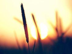 wheat fields and sunrise