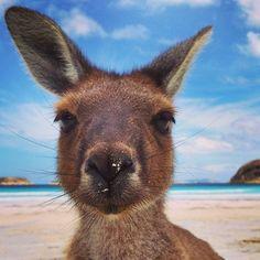 Kangaroo at Luckey Bay in Cape Le Grand National Park, Western Australia Perth, Brisbane, Melbourne, Tasmania, Western Australia, Australia Travel, Iconic Australia, Grand National, National Parks
