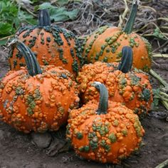 Porcelain Manufacturers In China Key: 9916393759 White Pumpkins, Fall Pumpkins, Grow Pumpkins, Pumpkin Varieties, Pumpkin Garden, Craft Projects For Adults, Pumpkin Squash, Plastic Pumpkins, Pumpkin Colors