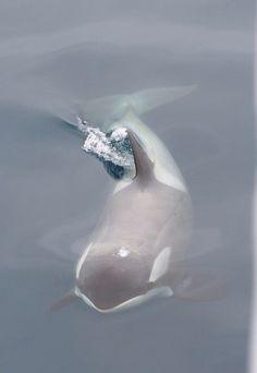 15 magnifiques photos à la gloire de l'orque, reine des océans