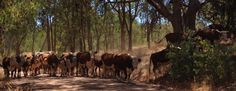 Cattle Mustering