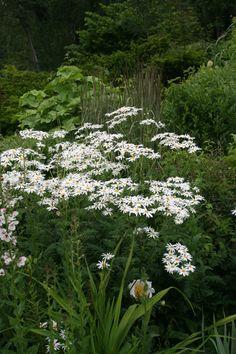 Renfanekrage, Tanacetum corymbosum. Härdighet A. Upp till 1m. Anspråkslös