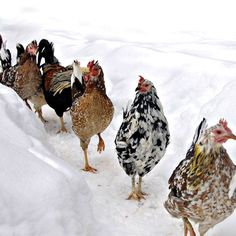 Icelandic Chickens: A Heritage Breed for Modern Homesteads