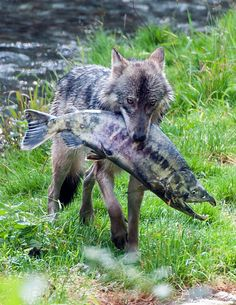 Wolf with its huge chum salmon that it caught in Fish Creek in SE Alaska by Nancy Wagner Photography