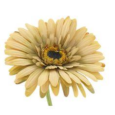Beige Botanic Artistry Gerbera Daisy Stem
