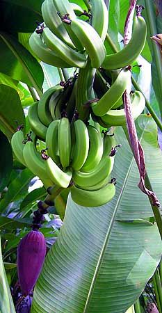 Green bananas-also growing all over the place in Dominica-plus mangoes, papaya, and wonderful vegetables-best tomatoes ever/lu