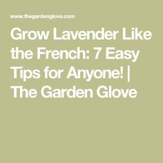 Grow Lavender Like the French: 7 Easy Tips for Anyone! | The Garden Glove