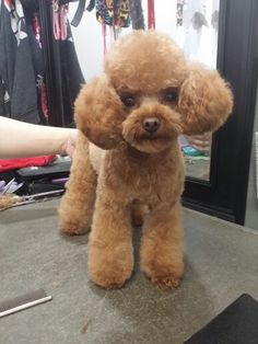 My friend/Co worker nikki groomed this toy poodle Japanese style
