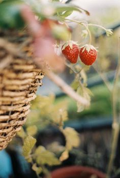 Country Life, Country Living, Vida Natural, Natural News, Strawberry Fields Forever, Strawberry Patch, Strawberry Planting, Strawberry Hill, Strawberry Picking